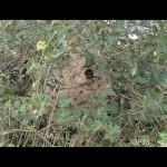 Gros nid très dangereux à 1 mètre du sol.