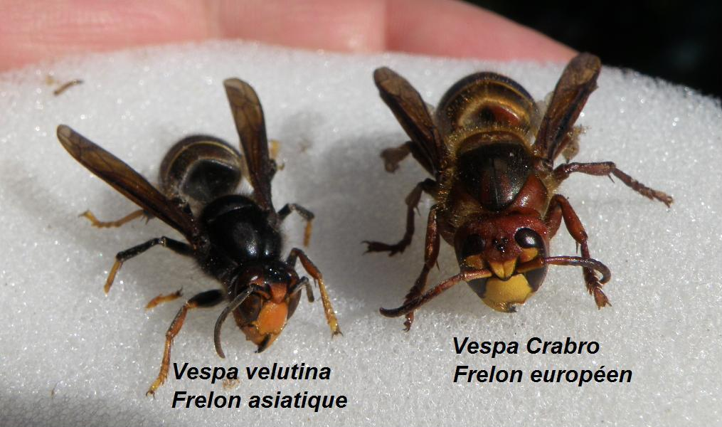 frelon asiatique et frelon européen de face