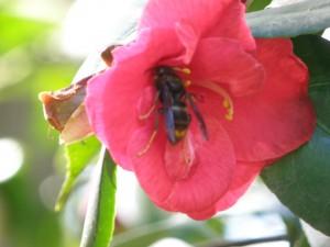 Cette fleur de camélia à fleur simple, floraison en février mars, est très riche en nectar. A leur sortie d'hibernation, les femelles de frelon asiatique y trouvent l'énergie des rares sucres disponibles à cette époque de l'année .