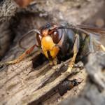 """Sortie d'hibernation de Femelle fondatrice """"vespa velutina"""""""
