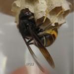 Corvée de nourrissage d'une Femelle fondatrice dans son nid primaire.
