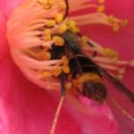 Ce mâle de frelon asiatique butine une fleur de camélia d'automne
