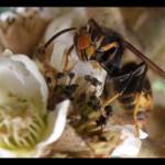Male dans fleur de Neflier du Japon